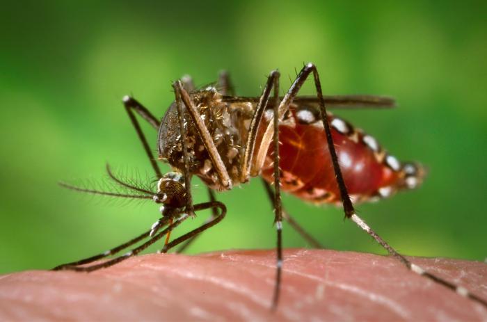 Aedes Mosquito causes chikungunya, dengue and zika virus infection